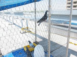 遠くを見つめる鳩